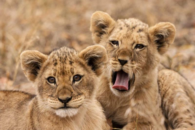 Lion Cubs in Kruger National Park, South Africa. Credit: Shutterstock.