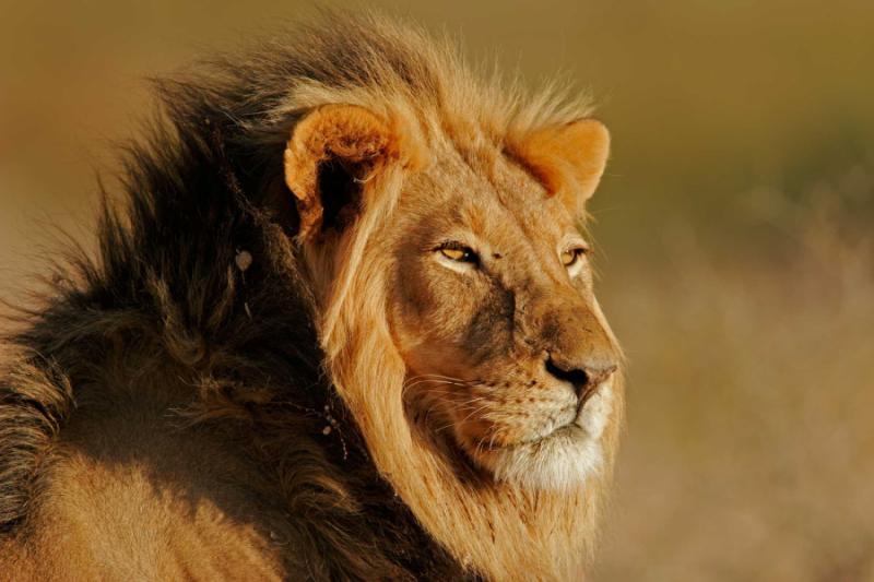 African Lion in South Africa. Credit: Shutterstock.
