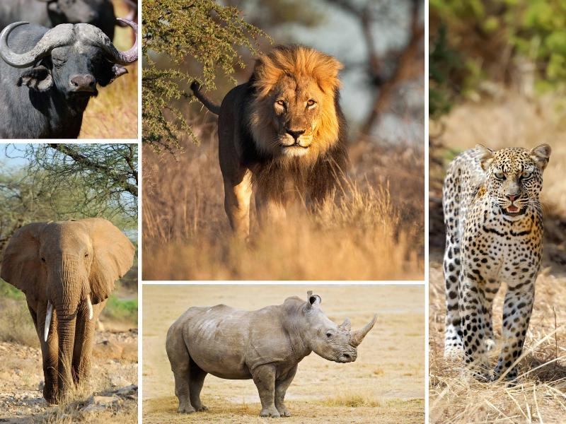 the big five of african safari. Black Bedroom Furniture Sets. Home Design Ideas