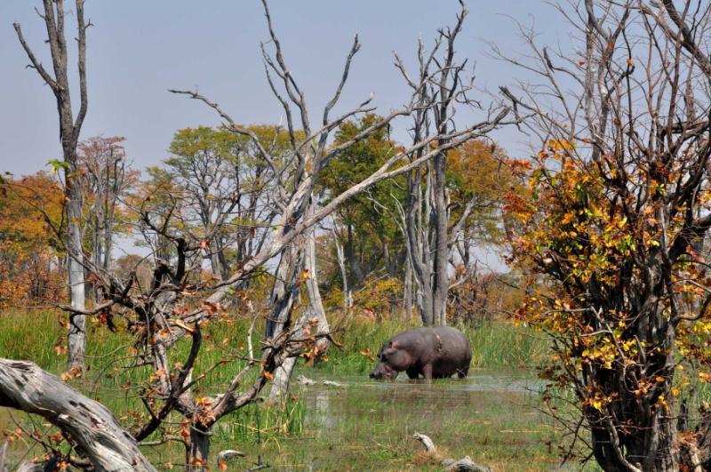 Hippo Foraging in Botswana. Credit: Shutterstock.