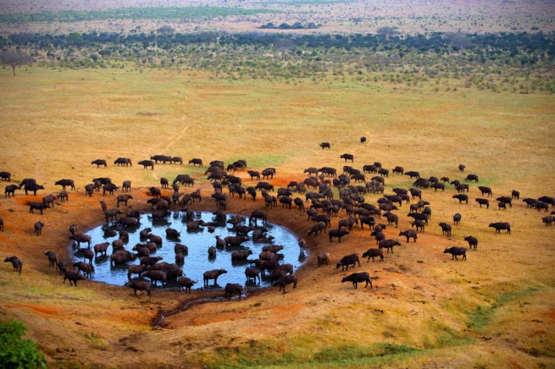 Buffalo at a Watering Hole. Kruger National Park, South Africa. Credit: Shutterstock.
