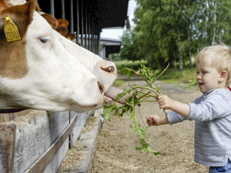 Young boy feeds cows in Costa Rica