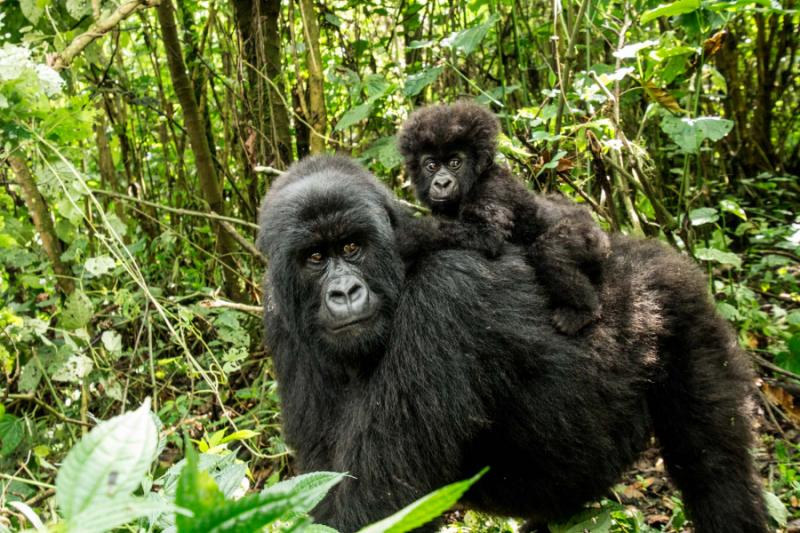 Mother Mountain Gorilla with a Baby, Rwanda. Credit: Shutterstock.