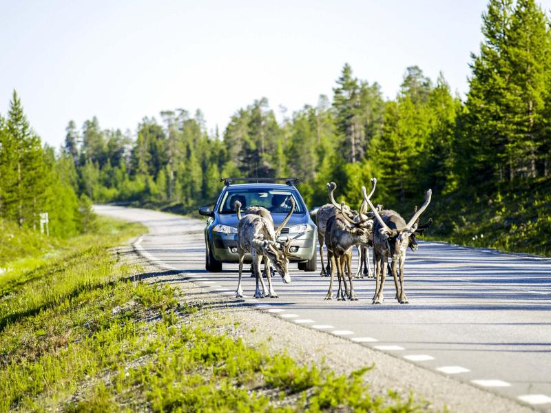 Watch for crossing reindeer and elk when driving in Sweden