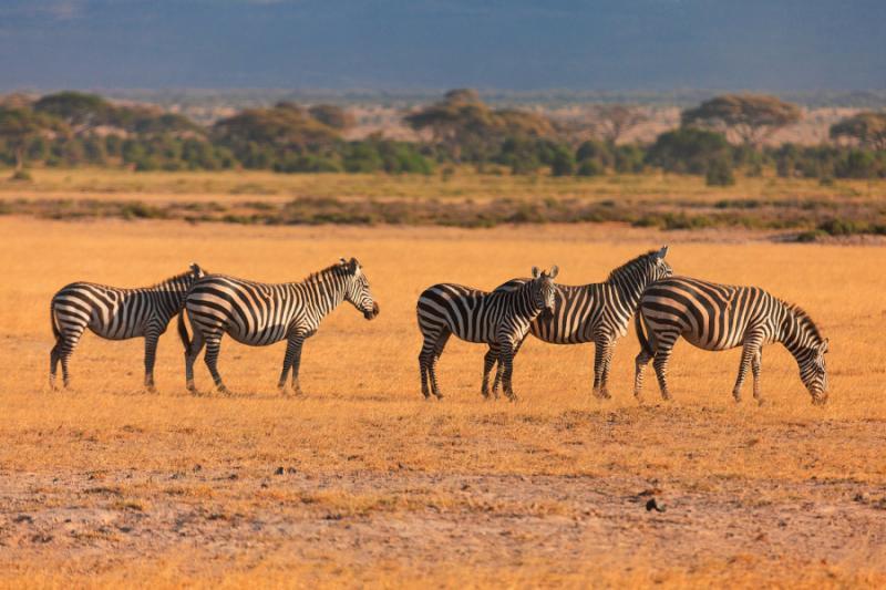 Zebras in the Dry Grass in Maasai Mara. Credit: Shutterstock.
