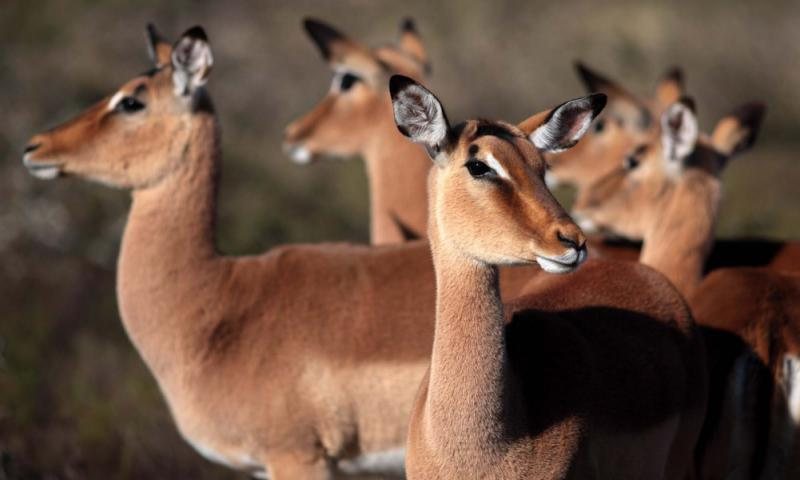 A Breeding Herd of Impala Antelope in South Africa. Credit: Shutterstock.