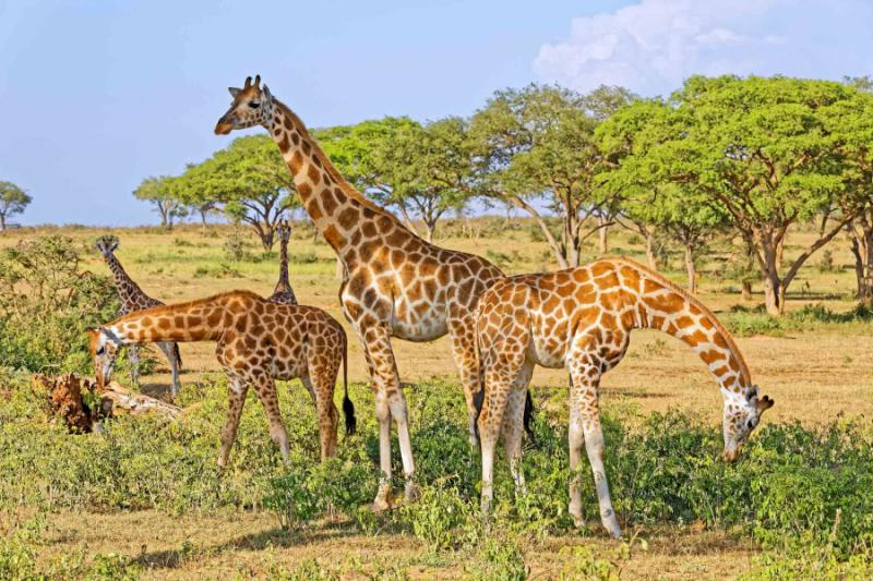 A Small Herd of Giraffes Feeding in Murchison Falls National Park, Uganda. Credit: Shutterstock.