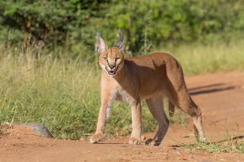 A Young Sub-Adult Caracal in Kruger National Park, South Africa. Credit: Shutterstock.