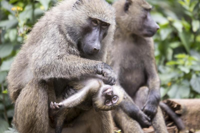 Baboon Grooming its Baby in Kibale National Park, Uganda. Credit: Shutterstock.
