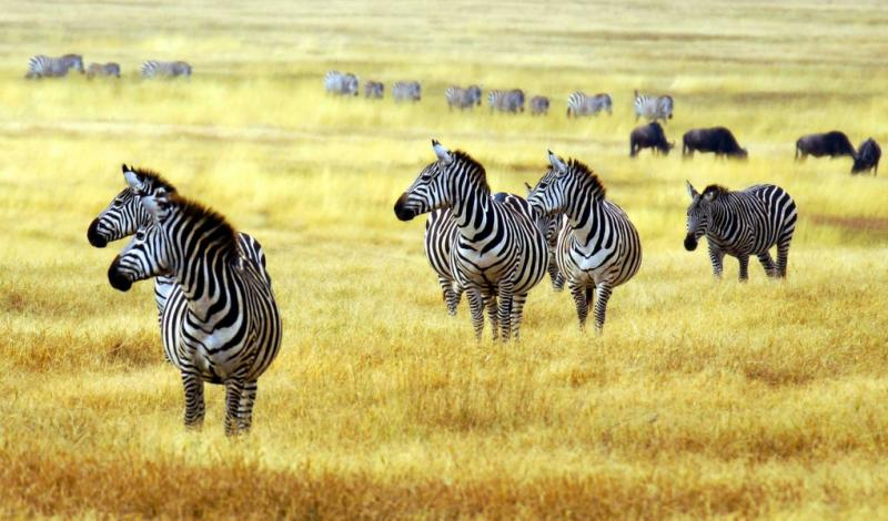 African Zebras in the Grasslands. Credit: Shutterstock.