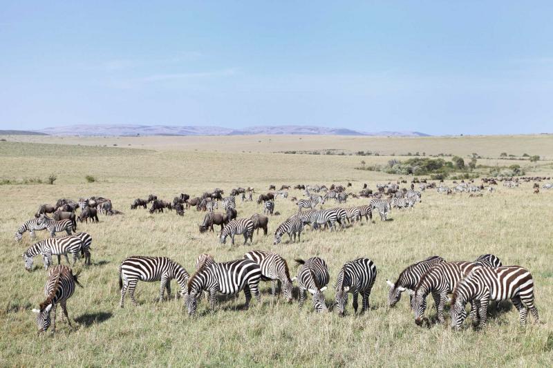 The Great Zebra Migration Across the Kalahari | Zicasso