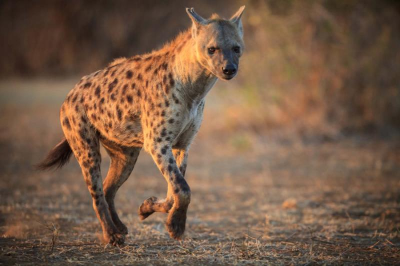 Spotted Hyena in Chobe National Park, Botswana. Credit: Shutterstock.