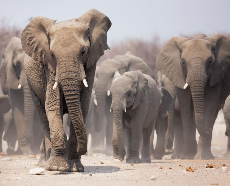 The Great Elephant Migration Across Zambia Amp Botswana