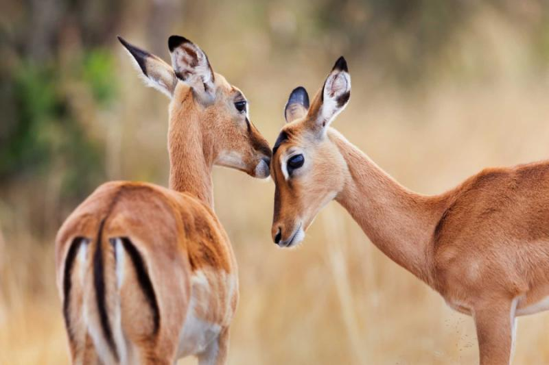 Two Beuatiful Impala Antelopes in Kenya. Credit: Shutterstock.