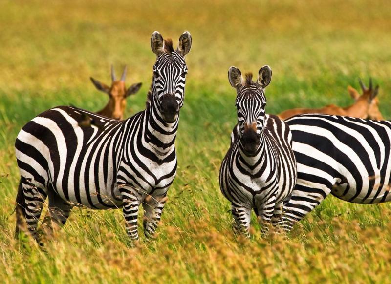 Are Elephants Mammals >> Tanzania Luxury Tented Safari | Zicasso