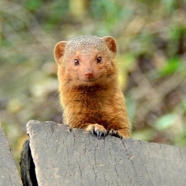 Dwarf Mongoose at Serian Camp. Credit: Shutterstock.