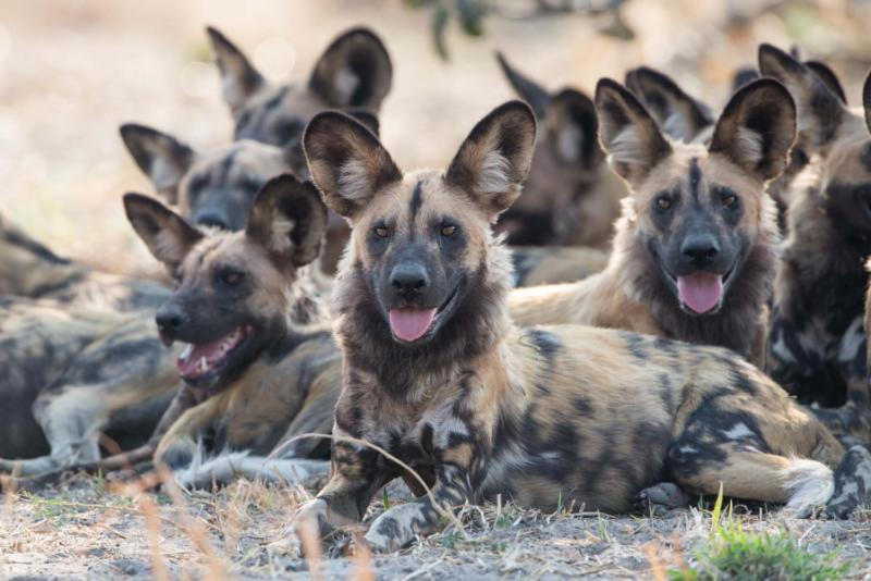 Pack of African Wild Dogs. Credit: Shutterstock.