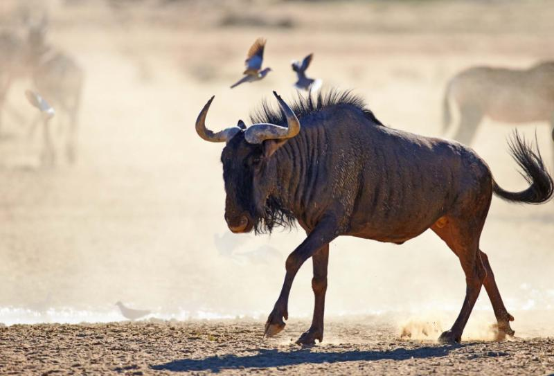Wildebeest on Dusty Plains, Kalahari Desert, South Africa. Credit: Shutterstock.