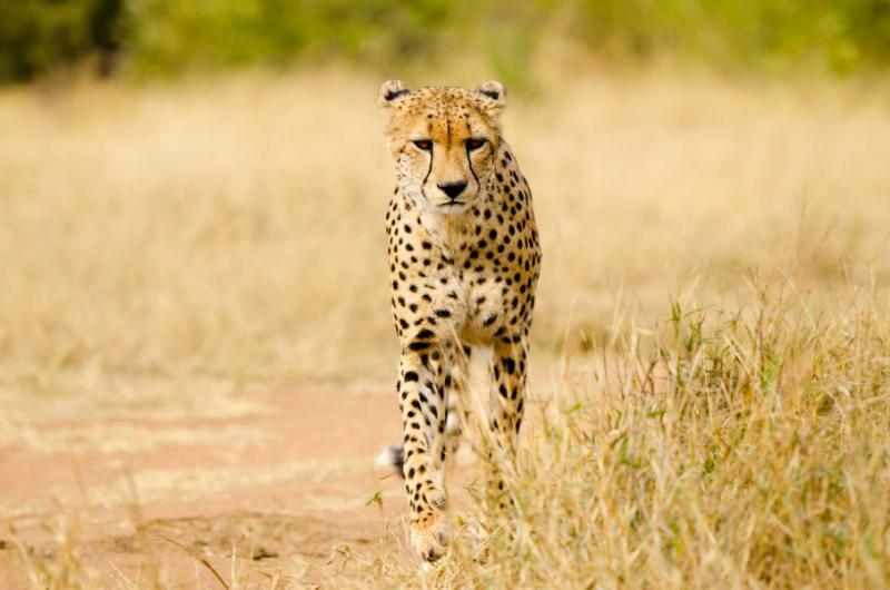 Cheetah Walking in a South Africa Savannah, Kruger National Park. Credit: Shutterstock.