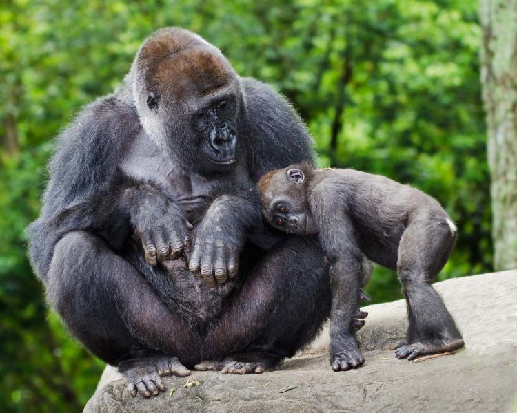 giants of africa gorilla trekking plus tanzania amp kenya