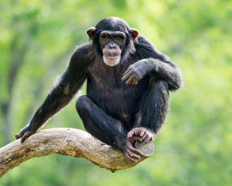 A Young Chimpanzee Relaxing on a Tree Branch. Credit: Shutterstock.