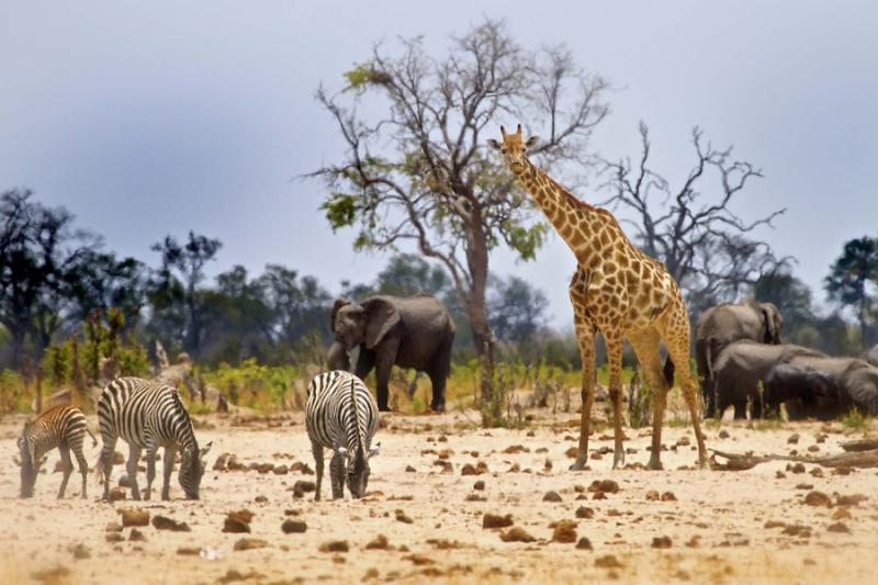 An Iconic Safari Shot of a Giraffe, Zebras, and Elephants at a Waterhole in Hwange National Park, Zimbabwe. Credit: Shutterstock.