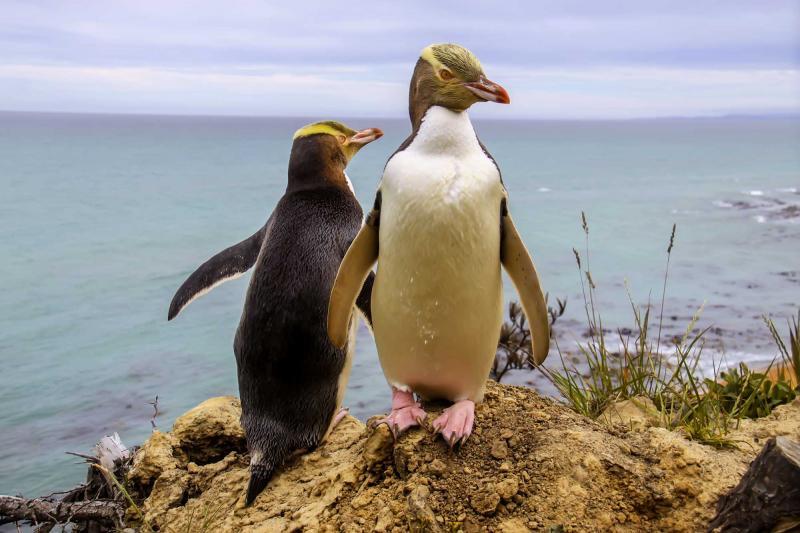 New Zealand Penguins Tour