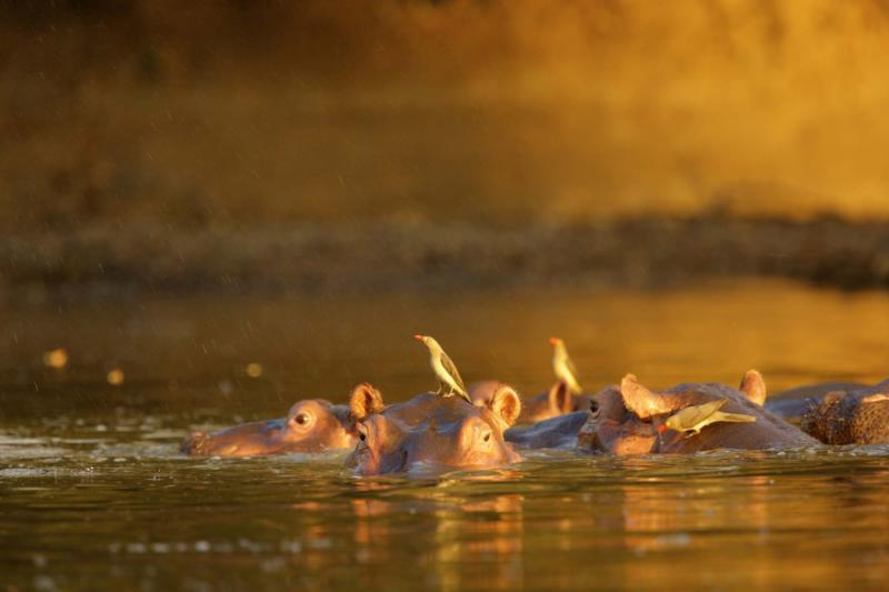Oxpeckers Sitting on Hippos in the Water Mana Pools, Zimbabwe. Credit: Shutterstock.