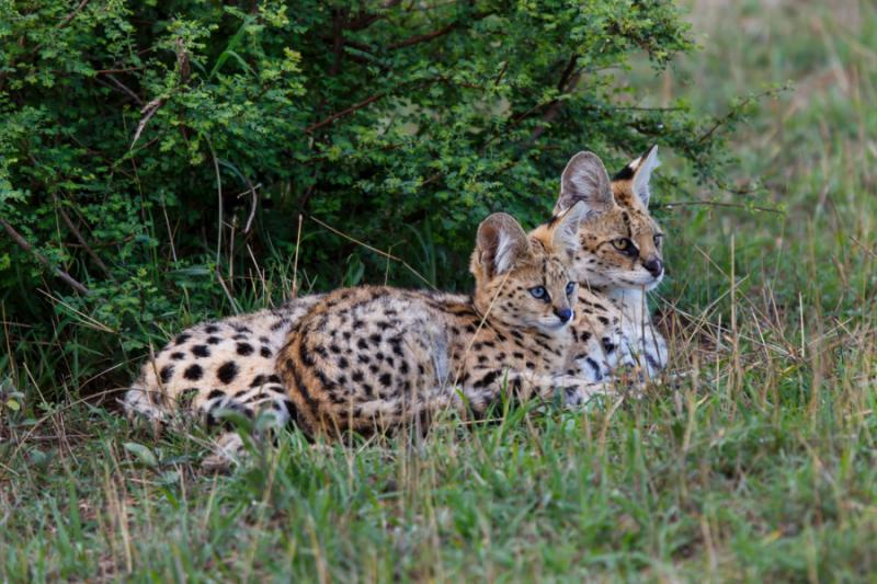 Serval Cat with Cub in Maasai Mara, Kenya. Credit: Shutterstock.