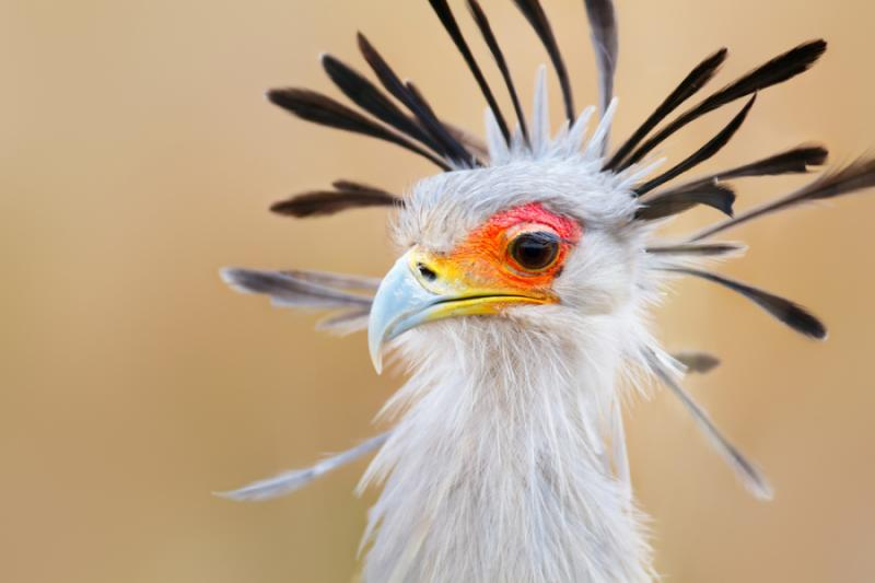 Secretary Bird in Kruger National Park, South Africa. Credit: Shutterstock.