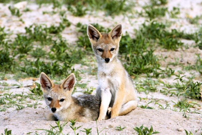 Two Black-Backed Jackal Pups in Hwange National Park, Zimbabwe. Credit: Shutterstock.