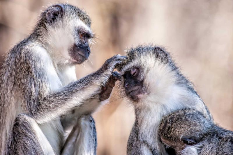 Vervet Monkeys in Kruger National Park, South Africa. Credit: Shutterstock.