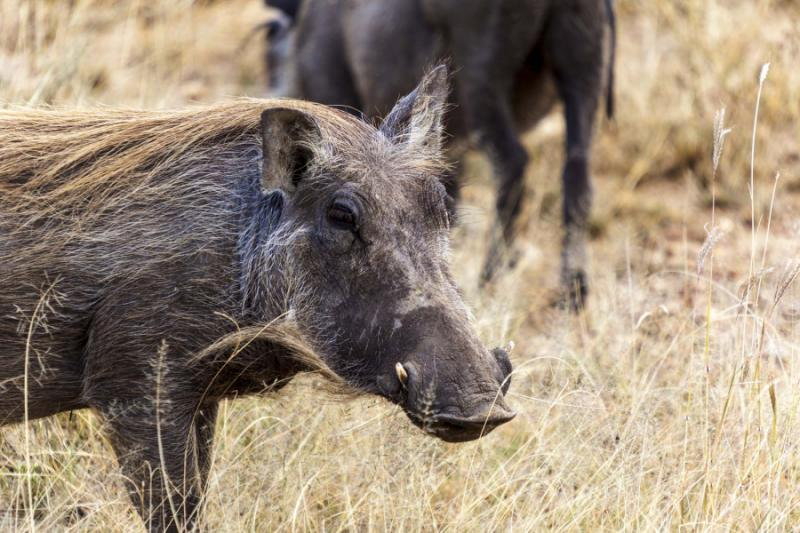 A Warthog in the Grassland Savannah, Tanzania. Credit: Shutterstock.