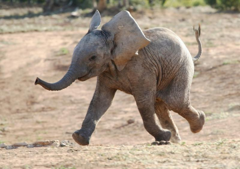 African Baby Elephant Running. Credit: Shutterstock.