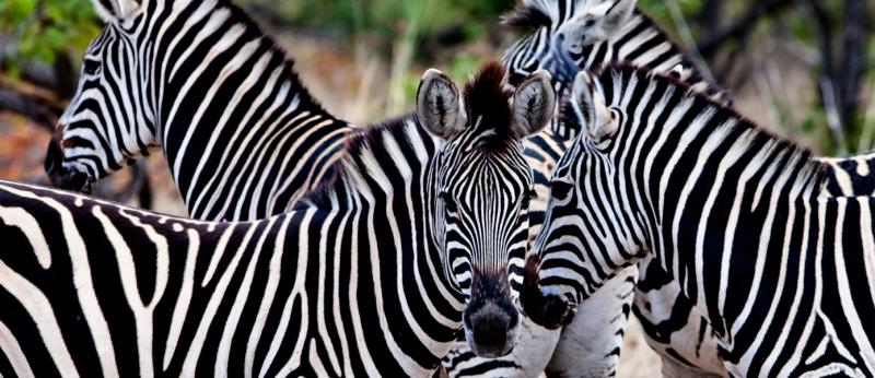 Zebras in Kruger National Park, South Africa. Credit: Shutterstock.