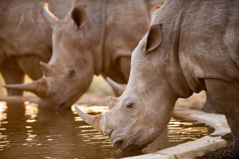 Rhinos at a Watering Hole. Kruger National Park, South Africa. Credit: Shutterstock.