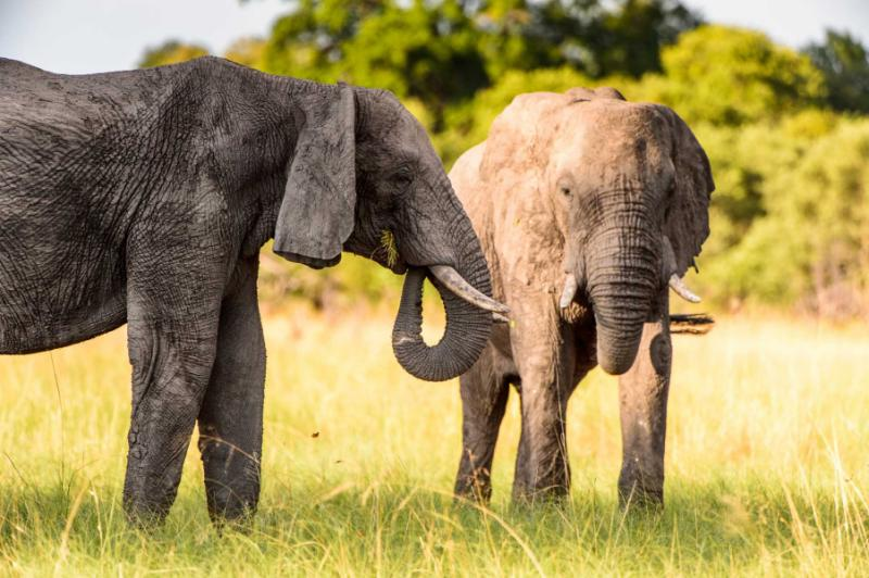 A Couple of Elephants in the Moremi Game Reserve. Okavego Delta, Botswana. Credit: Shutterstock.