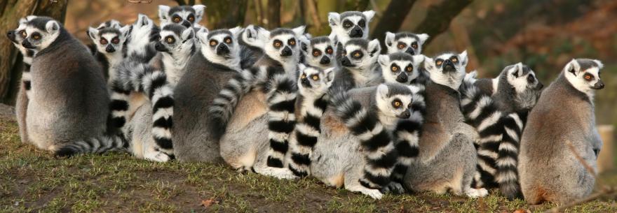 Lemurs are just one of Madagascar's unique species of local wildlife.