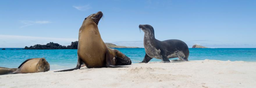 Seals relax on a beach in the Galapagos Islands.