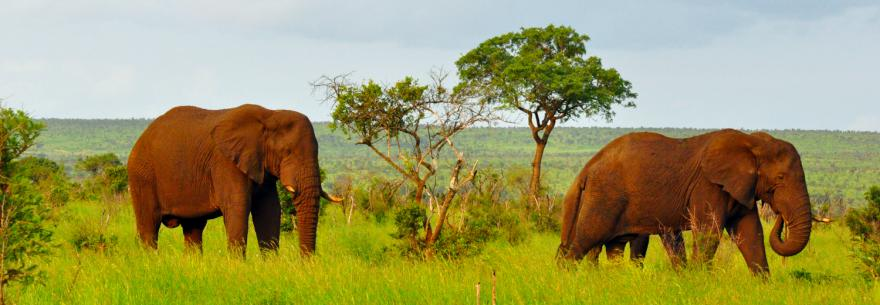Elephants graze in Kruger National Park, South Africa.