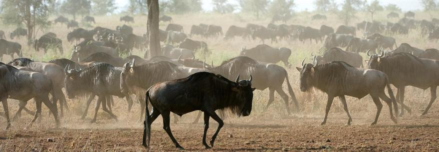 The Great Migration at Maasai Mara National Reserve, Kenya.