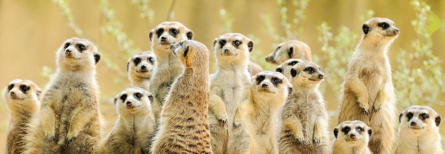 A family of meerkats gaze over the Kalahari Desert in South Africa