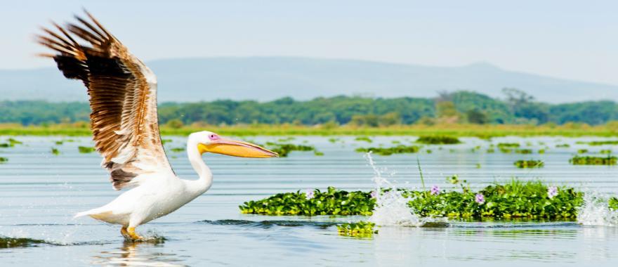 Pelican getting ready to take flight in a Kenyan marsh