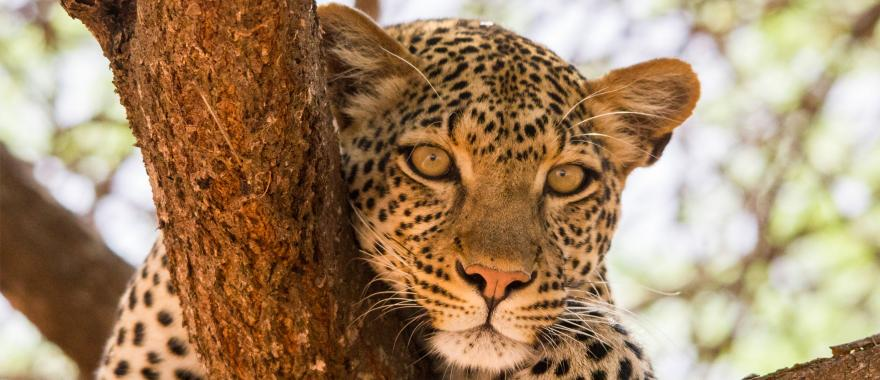 Close up of African leopard resting on a tree branch