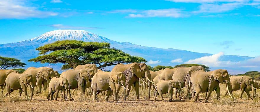 Herd of african elephants taken on a safari trip to Kenya with a snow capped Kilimanjaro mountain in Tanzania in the background