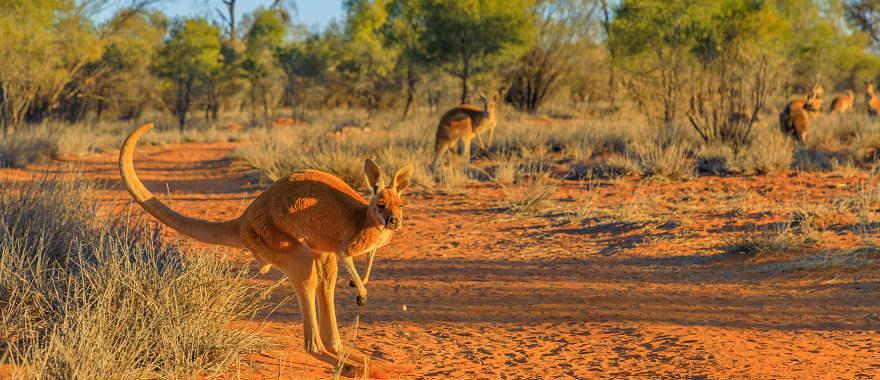 Kangaroo in the Australia Outback