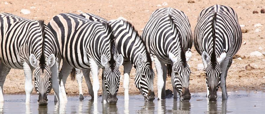 Zebra at watering hole.