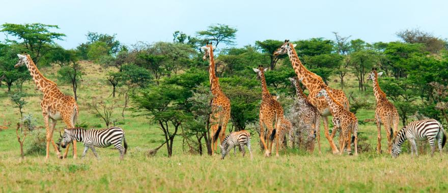 A herd of African giraffes and zebra coexisting and feeding in the Kenyan grasslands