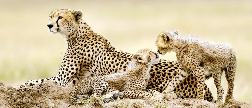 Cheetah mother and cubs rest on hill.