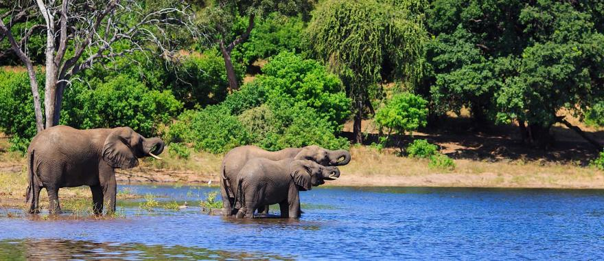 Family of African elephants feeding themselves water with their trunks
